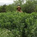 Harvesting and Preparing Fava Beans