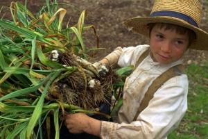 1-IMG_4508 (The Garlic Harvest)