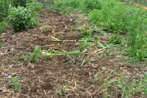 1-IMG_4510-001 (The Garlic Harvest)