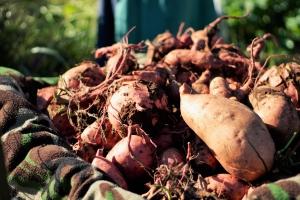 img_9445-2 (The 2016 Sweet Potato Harvest)