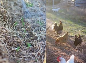 gardenchickens (The Homestead: 3.7.17)