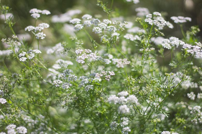 cilantro-flowers