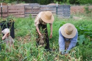 garlicharvest1 (The 2017 Garlic Harvest)