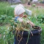 The 2017 Garlic Harvest
