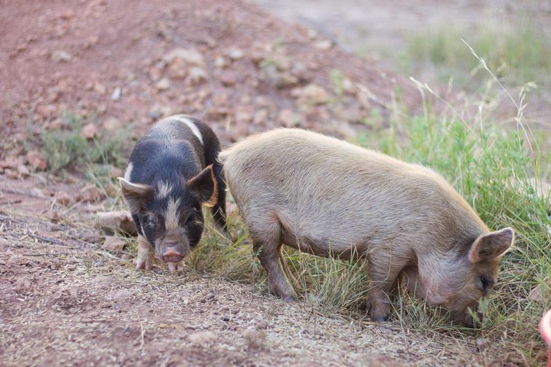 Bringing Kune Kune Pigs to the Homestead   Nourishing Days